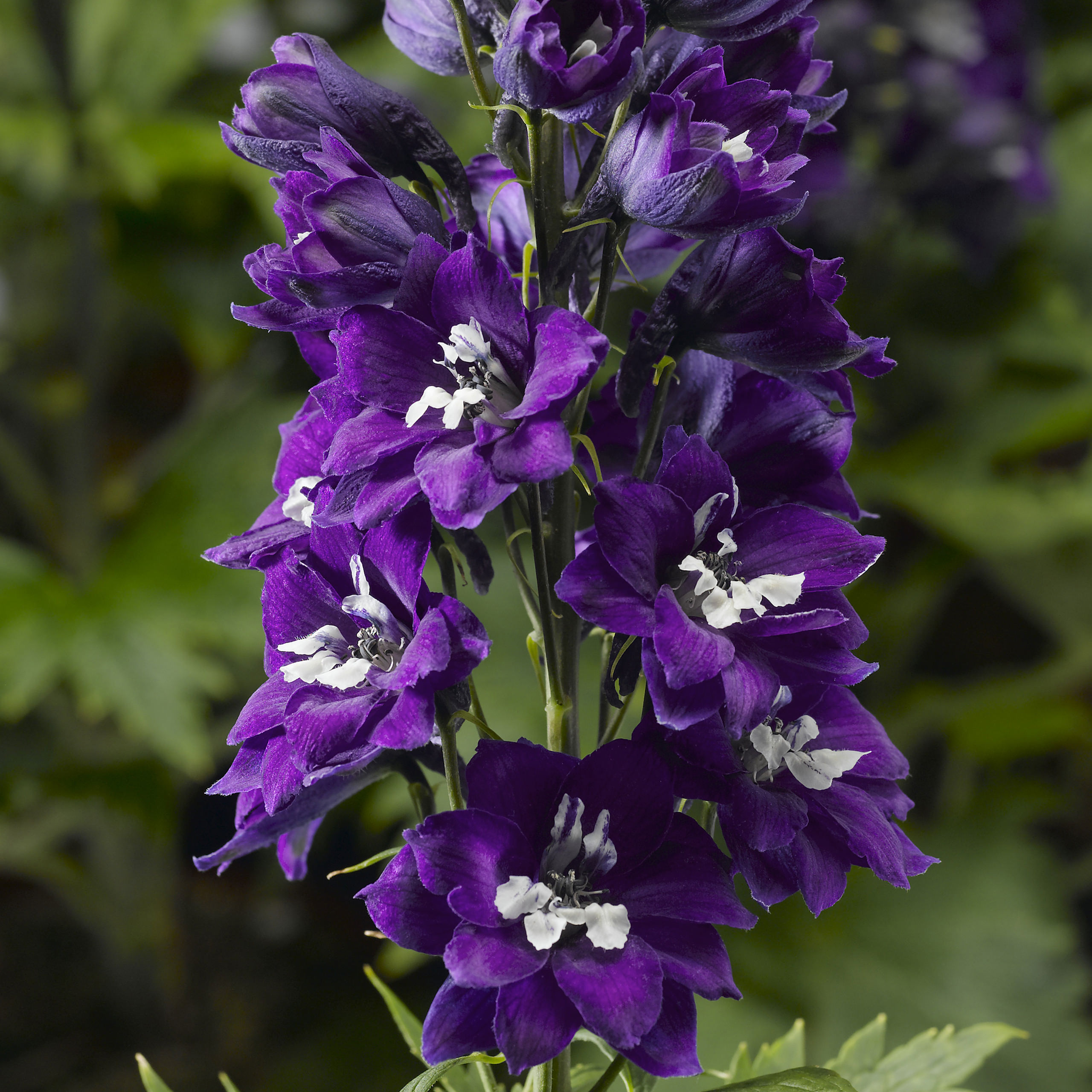 Hardy Perennial 6 Plug Plants by Thompson and Morgan Delphinium /'Dark Blue and White Bee/' 6