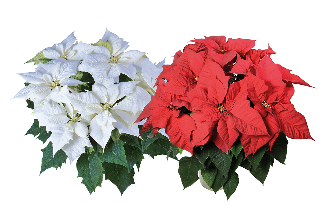 Syngenta Flowers To Sell And Market Lazzeri Poinsettia In The Us And Canada Syngenta Flowers