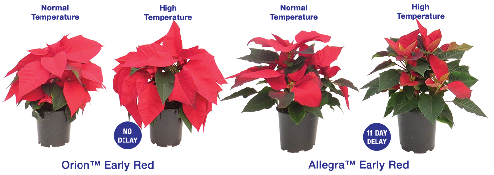 Poinsettia Heat Tolerance: Orion Early Red and Allegra Early Red