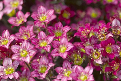 Saxifraga Alpino Early Neon Rose