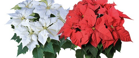 Lazzeri Poinsettia: Alaska White, Serena Red