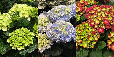HI Hydrangea Snow, Mountain and Fire Teasure 400x267