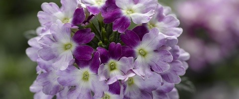 Obsession Cascade Twister Violet