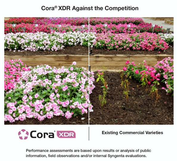 Cora XDR vs an existing commercial variety