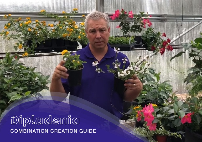 Dipladenia Combination Creation Guide