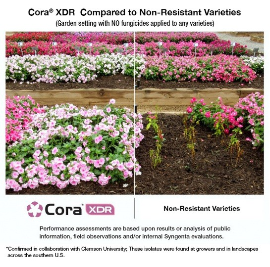 Cora® XDR: The vinca that fights back.