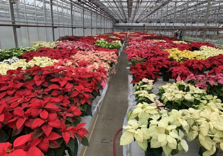 Overview of the Metrolina Poinsettia Trial