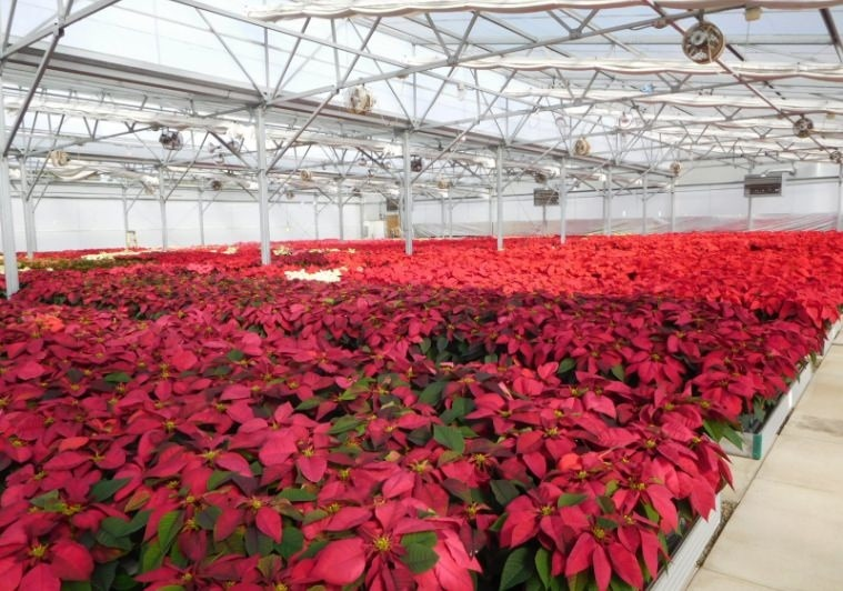 Overview of the University of Florida Poinsettia Trial