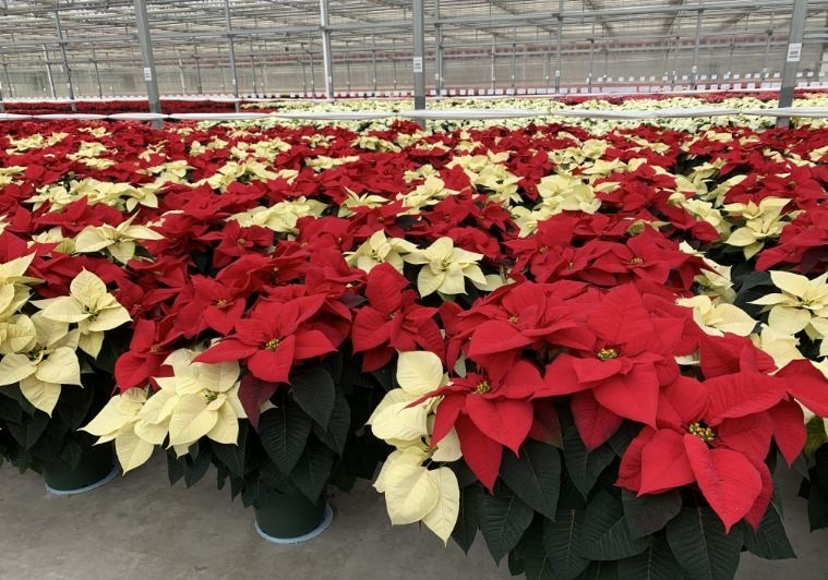 Red and White Combo at Lucas Greenhouse Poinsettia Trial