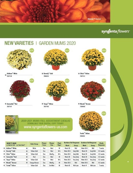 New Varieties Garden and Pot Mums 2020