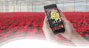 Syngenta Poinsettia Trials