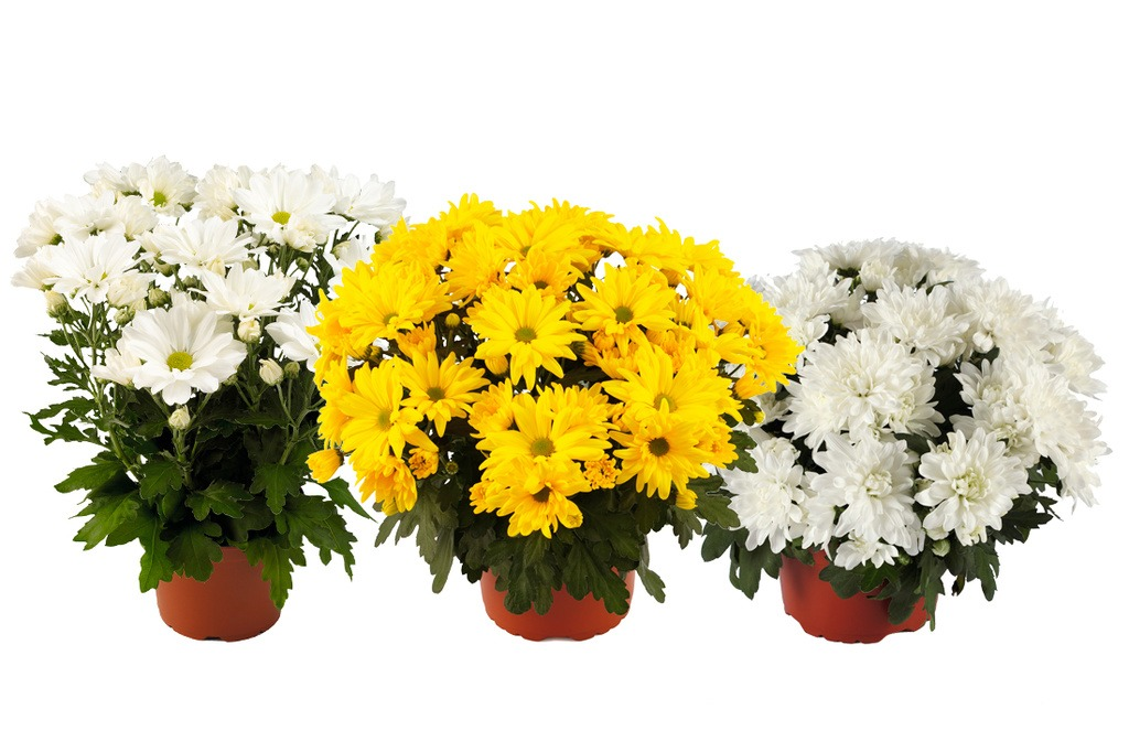 Royal Van Zanten Pot Mums: Mount Vernon, Tapas Time, Mount Gerlach