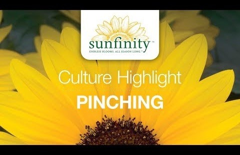 Sunfinity Sunflower Culture Highlight - Pinching (3 of 3)