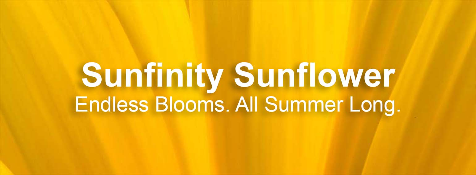 Sunfinity Sunflower Yellow Dark Center Flower Shot